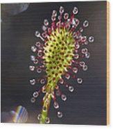 Oblong-leaved Sundew Drosera Intermedia Wood Print