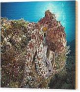 Octopus Posing On Reef, La Paz, Mexico Wood Print