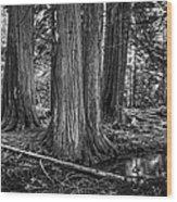 Old Growth Cedar Trees - Montana Wood Print
