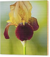 Old Time Two Toned Burgundy And Gold Iris Wood Print