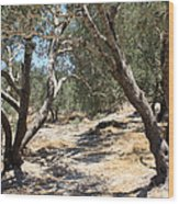 Olive Trees At Sebastia Wood Print