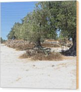 Olive Trees In Samaria Wood Print