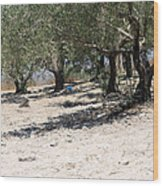 Olive Trees In Sebastia Nablus Wood Print