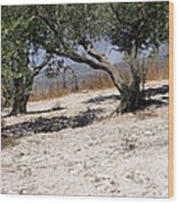 Olive Trees Standing Alone Wood Print