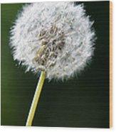 One Dandelion Flower Isolated  Wood Print