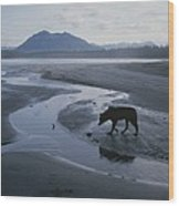 One Of Vargas Islands Habituated Wolves Wood Print