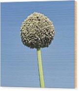 Onion Flower Wood Print