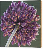 Onion Flower Wood Print