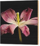 Open Lilly Wood Print