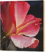 Open Rose After The Rain Wood Print