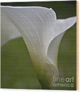 Open White Calla Lily II Wood Print