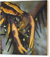 Orange And Brown Elegant Squat Lobster Wood Print