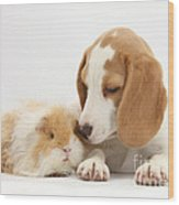 Orange-and-white Beagle Pup And Alpaca Wood Print