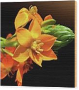 Orange Chincherinchee Wood Print by Gitpix