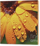 Orange Daisy And Raindrops Wood Print