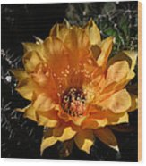 Orange Echinopsis Flower  Wood Print