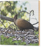 Orange Footed Scrub Fowl Wood Print