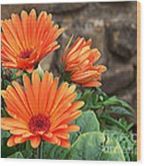 Orange Gerber Daisy Wood Print
