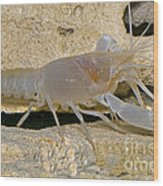Orange Lake Cave Crayfish Wood Print