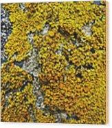 Orange Lichen - Xanthoria Parietina Wood Print