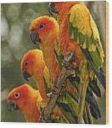 Orange Parakeets Chiang Mai Thailand Wood Print