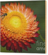 Orange Straw Flower With Guest Wood Print