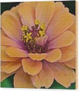 Orange Zinnia_9475_4267 Wood Print