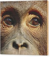 Orangutan Eyes Borneo Wood Print
