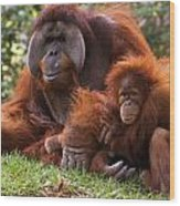 Orangutan Mother And Baby Wood Print