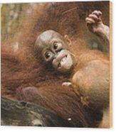 Orangutan Pongo Pygmaeus.  Juvenile Wood Print