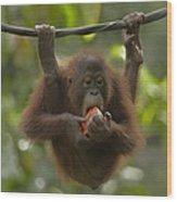 Orangutan Pongo Pygmaeus Young Eating Wood Print