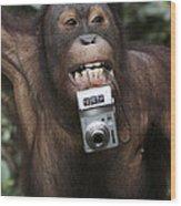 Orangutan With Tourists Camera Wood Print