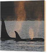 Orca Orcinus Orca Resident Pod Wood Print