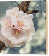Orchard Of Apricot Trees Wood Print