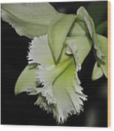 orchid 900 Brassolaeliocattleya Ruben's Verde Chantilly Green Wood Print