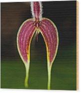 Orchid Bulbophyllum Blumei Flower Wood Print