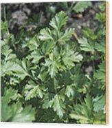 Organic Parsley Wood Print