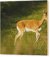 Oribi Two Wood Print