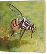 Oriental Fruit Fly Laying Eggs Wood Print
