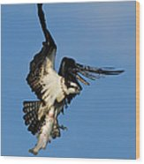 Osprey And Rainbow Trout Wood Print