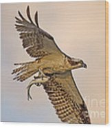 Osprey Catches Big Fish Wood Print