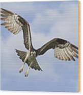 Osprey In Flight One Wood Print