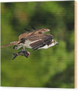 Osprey Inflight At Blue Cypress Lake Wood Print