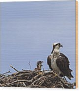 Osprey Mother And Chick Wood Print