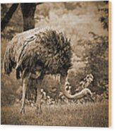 Ostrich Wood Print by Arne Hansen