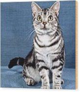 Outstanding American Shorthair Cat Wood Print