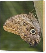 Owl Butterfly Caligo Idomeneus Resting Wood Print