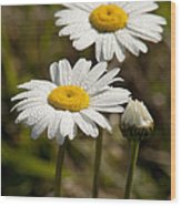 Ox-eye Daisy Wildflowers Drenched In Dew Wood Print