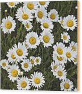 Ox-eyed Daisies, Banff National Park Wood Print