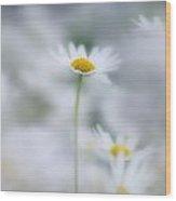 Ox-eyed Daisies, Kootenay National Wood Print